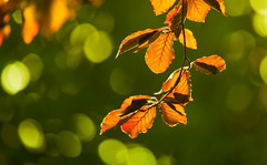 Copper and green (Steve-h) Tags: trees leaves nature natur natura naturaleza baccklight backlighting contrajour contraluz sun sunny sunshine sunlight weather beech bokeh copperbeech contrasts colour colours orange green gold yellow lime digital exposure ef eos canon camera telephoto zoom lens autumn september 2015 rathgar dublin ireland europe eu steveh dof