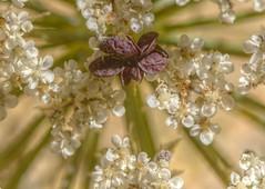 PurpleOne (Tony Tooth) Tags: nikon d7100 nikkor 105mm macro extensiontube tripod flower wildcarrot queenanneslace purple hdr