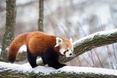 16293551110_9635760dbc_o (wuowuo) Tags: zoo karlrsuhe tier animal mammal sugetier kleinbr roter kleiner red panda firefox feuerfuchs ailurus fulgens