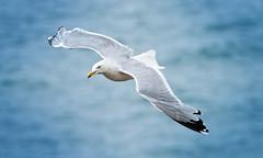 Soaring (Caleb4Ever) Tags: caleb4ever bird birdinflight bif feathers fly wings wildlife nature cumbria gull sea blue water soaring flight