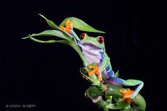 Red Eyed Tree Frog (Linda Martin Photography) Tags: dorset agalychniscallidryas wildlife bournemouth nature centralamerica costarica rainforest reptile canon5dmarklll uk redeyedtreefrog coth alittlebeauty specanimal coth5 ngc