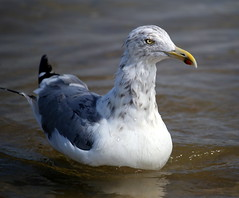 A seagull in the Atlantic Ocean off Manasquan Beach. (apardavila) Tags: atlanticocean bird jerseyshore manasquan manasquanbeach seagull