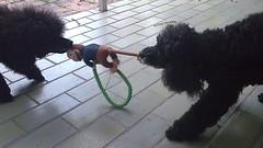 Junior & Tasha playing tug-of-war (David McKelvey) Tags: 2008 brisbane qld poodle tasha junior