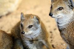 Marwell: Yellow Mongoose (Jasmine'sCamera) Tags: marwell marwellzoo animals animal zoo yellow mongoose yellowmongoose cub baby