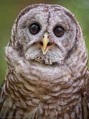 EM1B1740-Edit (Bob Gilley) Tags: barred owl captive