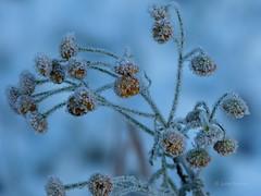 Icy Tansy (joeke pieters) Tags: snow nature hoarfrost sneeuw tansy vorst rijp boerenwormkruid platinumheartaward 1040114 panasonicdmcfz150
