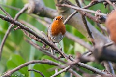 Robin. (mick revell) Tags: freedomtosoarlevel1birdphotosonly freedomtosoarlevel1birdsonly