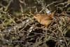 Bird in a bush (Nigel Dell) Tags: winter birds flickr wildlife wren ngdphotos