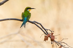 """Swallowtailed Bee-eater in Etosha National Park Namibia • <a style=""""font-size:0.8em;"""" href=""""https://www.flickr.com/photos/21540187@N07/8291787229/"""" target=""""_blank"""">View on Flickr</a>"""