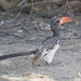 """Redbilled Hornbill, Namibia • <a style=""""font-size:0.8em;"""" href=""""https://www.flickr.com/photos/21540187@N07/8292846982/"""" target=""""_blank"""">View on Flickr</a>"""