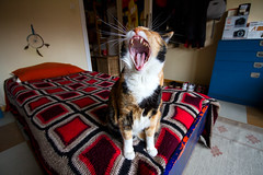 Rawr! (Giacomo Foti Photo) Tags: italy cats rome roma cat canon photography bedroom italia sigma 7d 1020 gatto gatti yawning gatta