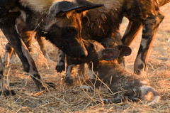 "Wild Dog Pubs in Okavango Delta, Botswana • <a style=""font-size:0.8em;"" href=""https://www.flickr.com/photos/21540187@N07/8293283693/"" target=""_blank"">View on Flickr</a>"