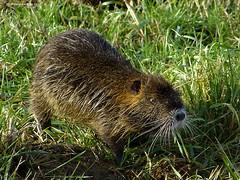 Nutrie  un simpatico incontro (franco nadalin) Tags: natura panasonic animali friuli roditori nutrie fz150 franconadalin