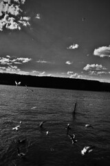 Hudson (Patrick Santucci Photography) Tags: blackandwhite seagulls streets monochrome birds photography flickr streetphotography rivers hudsonriver bandw yonkers palisades streetphotos urbanlife urbanphotography naturephotography urbanphotos santucci yonkersny streetimages sigmalenses yonkerswaterfront sigmacameras sigmasd1 streetshooters seagullsfighting patricksantucci psantucci patricksantucciphotography