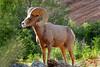 Bighorn Sheep (***Bud***) Tags: animal mountains nationalpark nature nikonp510 photo utah wildlife bighorn sheep zion blueribbonwinner open