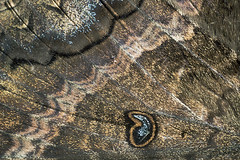 Black Witch Moth (Ascalapha odorata) (cocoi_m) Tags: male nature insect puertorico wing moth ponce wingsan ascalaphaodorata macrophotograph blackwitchmoth