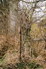 living fence post (losthalo) Tags: trees tree fence living wire border grasses alive growing fencepost growinginto