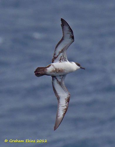 Great Shearwater,   Puffinus gravis,