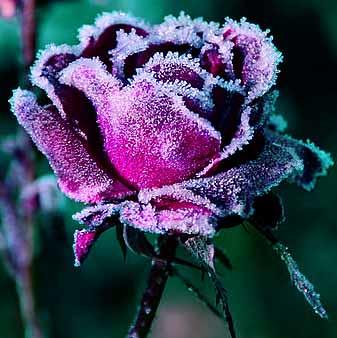 red winter rose