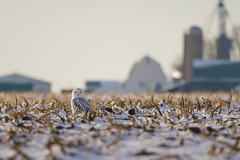Snowy Owl, Rock County, WI (Scott Weberpal) Tags: field corn snowy farm wildlife raptor owl snowyowl