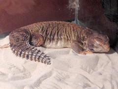 (cryptorchids) Tags: uromastyx khepri uploaded:by=flickrmobile flickriosapp:filter=nofilter