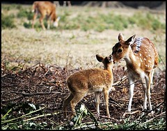 Love (Midhun Manmadhan) Tags: love affection spotteddeer