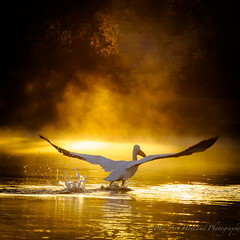 Peli mist takeoff DSC4177122812 (Gitart) Tags: mist nature sunrise wildlife ngc flight pelican whitepelican takeoff peli blinkagain bestofblinkwinners blinksuperstars