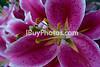 Photo: Flowers 023 (IBuyPhotos) Tags: ibuyphotos ibuyphotoscom anther filament flower lilies lilium liliumolympicstar liliumstargazer lily petal pistil stamen stargazerlily stigma tepal