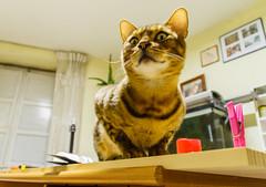 De vuelta a casa (Frankness2008) Tags: españa fauna canon eos huesca zoom gato aragon felino tamron 18200 jaca bengali pinza mamifero