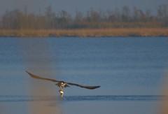 Osprey with a mullet in the Mobile Delta (jim324w) Tags: nature birds bay nikon wildlife alabama delta osprey mobiledelta d3100