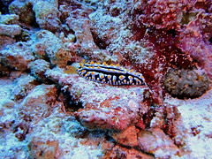 Nudibranch (ravpix) Tags: scubadiving maldives cora