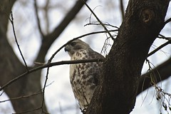 Hawk2 (heyness) Tags: nyc eastvillage nikon hawk thompkinssquarepark