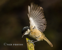 Coal Tit (Nigel Dell) Tags: winter birds flickr wildlife fsg coaltit ngdphotos