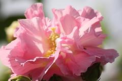Pinkness Invasion (maorlando God kept us 2014 leaning on Him 2015) Tags: pink usa plant flower bush texas hibiscus bloom mallow hardyhibiscus confederaterose hibiscusmutabilis explored444onjan7th nowonexploreat263