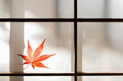 momiji love (sunnywinds*) Tags: life travel autumn light shadow red fall film window japan paper season japanese leaf maple emotion kodak bamboo foliage momiji single frame  dxo serene   portra  mapple shoji      160nc       makeanalogue