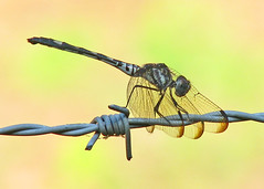Swift setwing posing on barbed wire (Vicki's Nature) Tags: brown female yard canon georgia dragonfly spots barbedwire sweep s5 twothumbsup 1371 gamewinner swiftsetwing dythemisvelox vickisnature thumbsupwinner yourock2nd gamesweepwinner yourockanything gamemorethan2legs readymother yourockupgradechall deadend5 tubug 15sundays motherhorizontal
