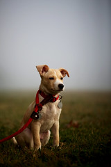 Felix portrait (ZachTGray) Tags: red portrait rescue dog fog puppy mutt mix lab felix earlymorning houston leash collar mixedbreed dogportrait puppyportrait redcollarrescue