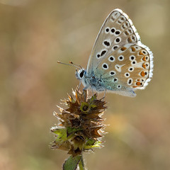 Adonis Blue (Polyommatus bellargus) Azur bleu cleste (Sinkha63) Tags: france macro male nature animal butterfly wildlife papillon martel lycaenidae midipyrnes polyommatus polyommatinae lycaeninae azur polyommatusbellargus adonisblue azurbleucleste