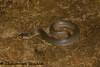 Xenochrophis piscator (6) (Chaitanya Shukla) Tags: amboli amboli201607 checkeredkeelback colubridae macro maharashtra reptilesandamphibiansofindia sindhudurga snakesofindia typicalsnakes xenochrophispiscator india in