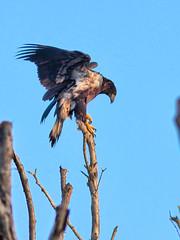 Bald Eaglet HDR 08-20160717 (Kenneth Cole Schneider) Tags: florida miramar westbrowardwca baldeaglenest pembrokepines