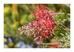 Gorgeous Grevillea (red stilletto) Tags: greatoceanroad greatoceanroadvictoria thegreatoceanroad thegreatoceanroadvictoria grevillea autumn plant flower red apollobay