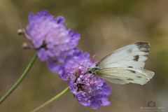 White Butterfly (Max Barattini) Tags: brassicae butterfly cabbage closed closeup coiled colorful colors detailed europe european feeding female flower foraging insect large macro open pieridae pieris proboscis spring springtime summer thistle tongue white wings