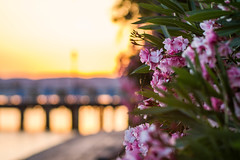summer sunset (Martolda) Tags: summer sunset canon 7d 85mm flowers fiori details tramonti lagotrasimeno lake sky colours passignano nature