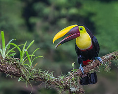 Chestnut-mandibled Toucan (Andy Morffew) Tags: chestnutmandibledtoucan toucan perched costarica andymorffew morffew
