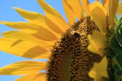 IMG_1467 (Jun.Ohashi) Tags: flower sunflower           jp canon  eos eosm3 apsc camerajpg jpeg  efm55200mmf4563isstm efm55200mm 55200mm efm f4563 is stm