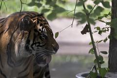 Toronto Zoo 2016 II (Rick 2025) Tags: toronto torontozoo mccoytours 2016 animals cats bigcats tigers sumatrantiger