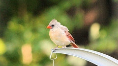 Orange Beak (blazer8696) Tags: 2016 brookfield ct connecticut ecw obtusehill t2016 usa unitedstates cardinal cardinalis cardinaliscardinalis female img1158 northern northerncardinal passeriformes