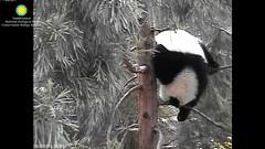 2016_08-28d (gkoo19681) Tags: beibei treetime treesitting danglinglegs dangling upsidedown sillygoober morningsilliness sayinghello ccncby nationalzoo