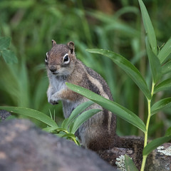 Golden-mantled Ground Squirrel, Callospermophilus lateralis (webersaustin) Tags: goldenmantledgroundsquirrel callospermophiluslateralis mammal squirrel