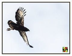 Brown Snake Eagle on the Launch (Crested Aperture Photography) Tags: circaetuscinereus pssaro uccello aves eagle eastafrica bird raptor raptors uganda ug flight brownsnakeeagle
